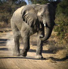 5342f5c287ae4c29ef3d6eff9018580f--ways-to-save-african-elephant